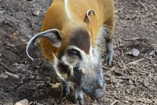 Free Pig Like Mammal, Fauna, Pig, Snout Royalty Free Stock Photos - 96740018