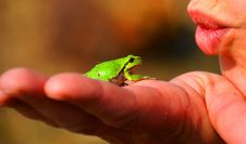 Free Fauna, Tree Frog, Dactyloidae, Close Up Stock Photo - 96741160