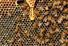 Free Honey Bee, Bee, Honeycomb, Invertebrate Royalty Free Stock Image - 96746976