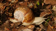 Free Snail, Snails And Slugs, Molluscs, Terrestrial Animal Royalty Free Stock Photo - 96753525