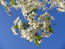 Free White Clustered Flower Stock Images - 96793234