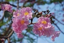Free Sakura Thailand Flower Stock Image - 96793421
