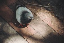 Free Black White Pigeon On Brown Floortile During Daytime Stock Images - 96793724