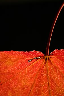 Free Leaf, Orange, Close Up, Macro Photography Stock Photography - 96798342