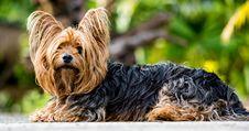 Free Dog, Dog Like Mammal, Dog Breed, Australian Silky Terrier Stock Images - 96799614