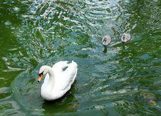 Free Swan Family Stock Photo - 9682130