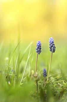 Free Muscari Stock Photography - 9682682