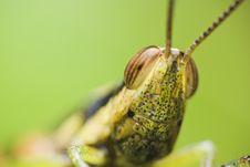Free Grass Hopper Stock Images - 9683094