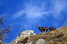 Free Chamois Royalty Free Stock Images - 9684799
