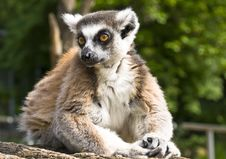 Free Lemur Royalty Free Stock Image - 9684826
