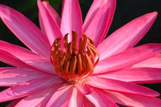 Free Water Lily Stock Photography - 9688242