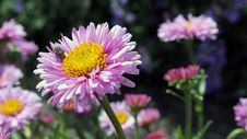 Free Flower, Aster, Flowering Plant, Daisy Family Stock Photos - 96817053