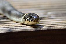 Free Snake, Reptile, Scaled Reptile, Serpent Stock Photography - 96820812