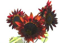 Helianthus Or Red Sunflowers Illustration Isolated Stock Images