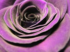 Free Flower, Purple, Violet, Rose Family Royalty Free Stock Photography - 96857887