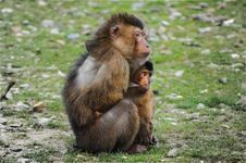 Free Macaque, Fauna, Primate, New World Monkey Royalty Free Stock Photography - 96858527