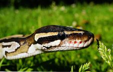Free Snake, Reptile, Scaled Reptile, Serpent Stock Photography - 96861792