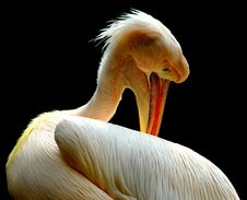 Free Beak, Bird, Pelican, Fauna Royalty Free Stock Photo - 96871795