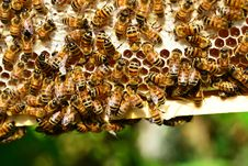 Free Honey Bee, Bee, Insect, Honeycomb Stock Photography - 96871912