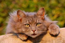 Free Cat, Whiskers, Fauna, Mammal Royalty Free Stock Image - 96871996