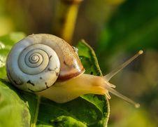 Free Snails And Slugs, Snail, Molluscs, Invertebrate Royalty Free Stock Photos - 96876258