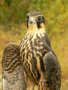 Free Hobby Falcon Royalty Free Stock Images - 9690899
