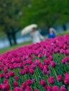 Free Spring Tulips Stock Photos - 9698683