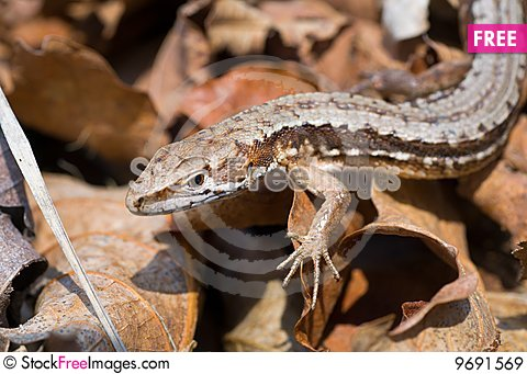 Free Lizard Royalty Free Stock Images - 9691569