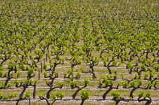 Free Rows Of Vines Royalty Free Stock Photos - 9690988