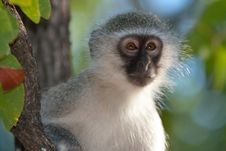 Free Monkey Business Royalty Free Stock Image - 9691046