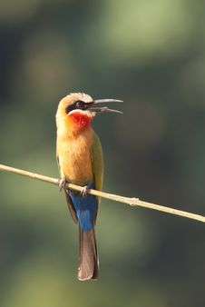 Free White-fronted Bee-eater Royalty Free Stock Images - 9691579