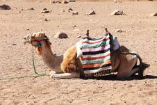 Free Camel Stock Photography - 9692382