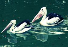 Free Pelican Stock Images - 9693164