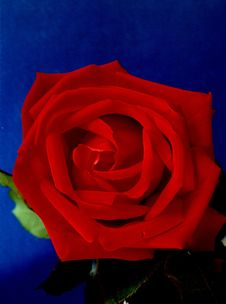 Free Red Red Rose Royalty Free Stock Photos - 9693668