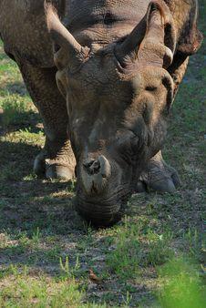Free Rhino And Sparrow Royalty Free Stock Image - 9693856