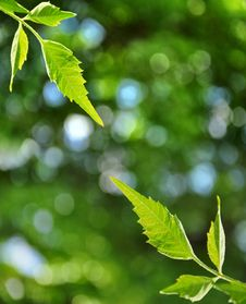 Free Fresh Leaves And Defocused Background Royalty Free Stock Photography - 9693867