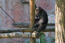 Free Chimpanzee Royalty Free Stock Photography - 9693927