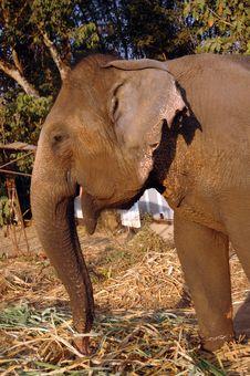Free Elephant Eats Hay. Royalty Free Stock Images - 9693979