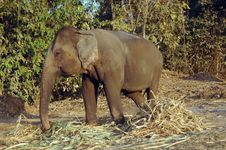 Free Elephant Eats Hay. Stock Images - 9694024
