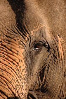 Free Head Of An Elephant. Stock Images - 9694034