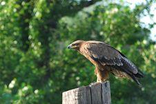 Free Eagle Royalty Free Stock Photo - 9694105