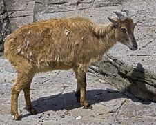 Free Himalayan Tahr 1 Royalty Free Stock Photography - 9694427