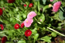 Free Heartfelt Pink And Red Zinnias Stock Image - 9694911