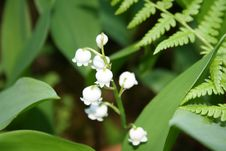 Free Lily Of The Valley Royalty Free Stock Image - 9694956