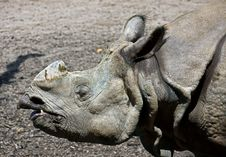Free Great Indian Rhinoceros 1 Royalty Free Stock Images - 9695519