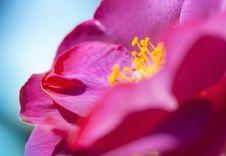 Free Purple Rose Stock Photos - 9695613