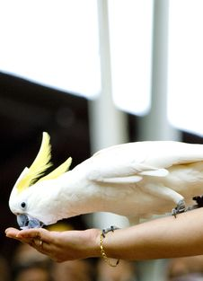 Free Cockatoo Stock Photography - 9695662
