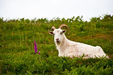 Free Goat In Field Stock Images - 9695774