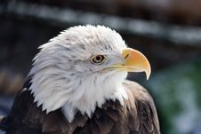 Free American Bald Eagle Royalty Free Stock Photo - 9696815