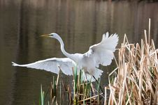 Great Egret Taking Off Royalty Free Stock Image